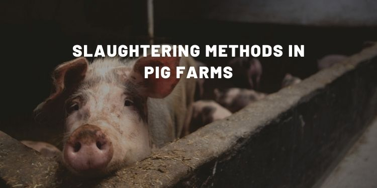 How Are Pigs Killed (Slaughtering Methods) - Almost Zero Waste